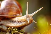 Постер, плакат: Helix pomatia also Roman snail Burgundy snail edible snail or escargot is a species of large edi