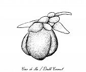 Tropical Fruits, Illustration Of Hand Drawn Sketch Coco De Mer Or Double Coconut Fruits Isolated On  poster