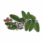 Isolated Clipart Of Plant Vateria Indica On White Background. Botanical Drawing Of Herb Vateria Indi poster