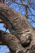 Baobab Tree Detail