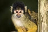 Squirrel Monkey Looking