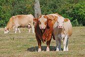 bull and heifer