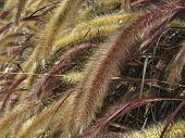 Setaria Italica Red Jewel - Red Bristle Grass