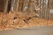 Buck 15