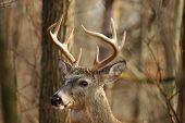 Buck 16