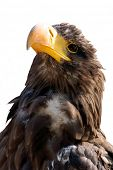 steller's sea eagle isolated