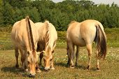 image of buckskin  - Norwegian Fjord Horse feeding in field in sun - JPG