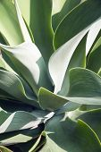 Lions Tail Agave poster