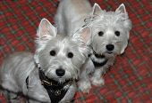 stock photo of westie  - two westie dogs look at camera - JPG