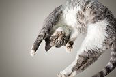 Flying Or Jumping Funny Tabby Kitten Cat Isolated On White And Gray Background. Copy Space. Greeting poster