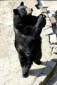 Black Bear In Zoo.