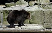 Brown Bear In Zoo.