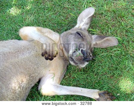 Picture or Photo of Snoozing kangaroo lying on fresh green grass.