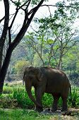 older asia elephant in jungle
