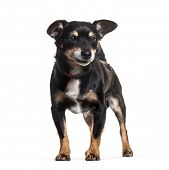Mixed-breed dog standing against white background poster