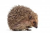 European hedgehog, Erinaceus europaeus, also known as the West European hedgehog or common hedgehog, poster