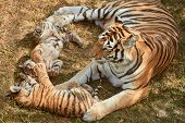 Mom Tigress With Two Babies. Two Little Playing Tiger Cubs. Tiger Family. Wild Animals In Nature poster