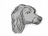 Retro Cartoon Style Drawing Of Head Of A Boykin Spaniel  , A Domestic Dog Or Canine Breed On Isolate poster