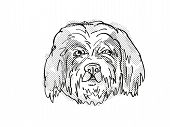 Retro Cartoon Style Drawing Of Head Of A Cavachon, A Domestic Dog Or Canine Breed On Isolated White  poster