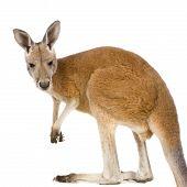 Jovem canguru vermelho (9 meses) - Macropus Rufus