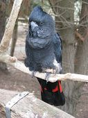 stock photo of palm cockatoo  - This is a rare black red tailed cockatoo