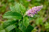Blooming Branch Of Wild Mint. Mentha (also Known As Mint, From The Greek μίνθα Mintha) Is A Plant Ge poster