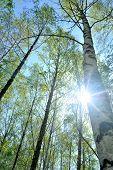 der Birkenhain im Frühjahr