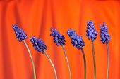Grape Hyacinthes