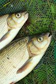 De vis op een landing net. (Ide - Leuciscus idus)