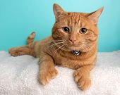 Orange Tabby Cat Portrait In Studio And Wearing A Bow Tie poster