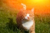 Red Cat Walks On The Green Grass In Sunny Weather. Home Pet. A Cat On The Lawn Takes Sunbathing. poster