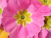 Primrose rosa viva