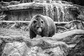 Animal Rights. Friendly Brown Bear Walking In Zoo. Cute Big Bear Stony Landscape Nature Background.  poster