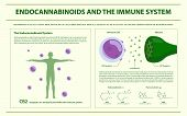 Endocannabinoids And The Immune System Horizontal Infographic Illustration About Cannabis As Herbal  poster