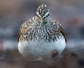 Angry Green Sandpiper Shows Off His Sharp Beak From Close Distance While Looking Towards Camera poster