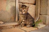 Tabby Baby Kitten Sitting Outdoor. Cute Kitty Closeup Portrait poster