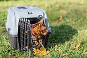 Cute Little Bengal Kitty Cat Sitting In A Pet Carrier Oudoors poster