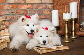 Two White Fluffy Samoyed Puppies Dogs With Book poster