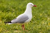 Red-billed Gull foraging in green grass
