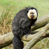 White-faced Saki (pithecia Pithecia)