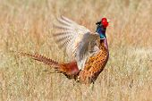 stock photo of pheasant  - A common Pheasant in it - JPG
