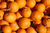 Pumpkins. Pumpkins for sale at a Pumpkin Patch. Halloween and Autumn Pumpkins piled upon each other  poster