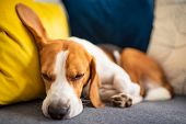 Beagle Dog Tired Sleeps On A Cozy Couch. Adorable Canine Background poster