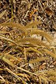 Feather Pennisetum