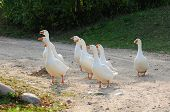 Gaggle Of White Domestic Geese