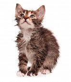 picture of nasty  - Wet shorthair kitten isolated on white background - JPG