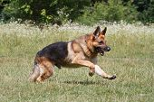 Training a German Shepherd