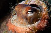 stock photo of octopus  - a Mediterranean octopus  - JPG