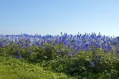 Larkspur field with blue sky and grass