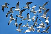 picture of flock seagulls  - Flock of seagulls flying in the clear blue sky - JPG
